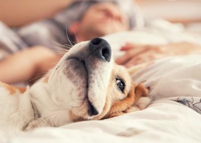 ベッドの上に居る犬