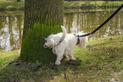 散歩中に木の根元におしっこをする犬