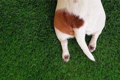 白と茶色の犬の尻尾