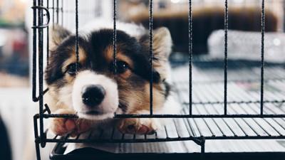 ゲージに入った子犬