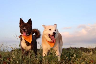 首にお揃いのバンダナをつけた2頭の犬