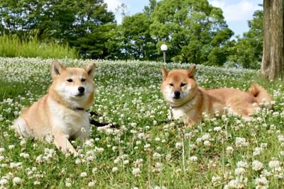 シロツメクサの中に座る2匹の柴犬