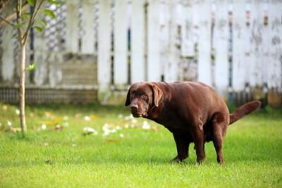 うんちする犬