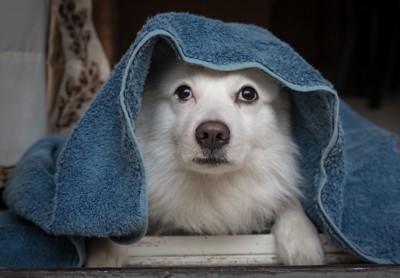 タオルを被っている犬