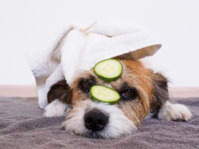 きゅうりを顔に乗せている犬