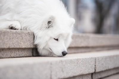 階段の途中で伏せる白い犬