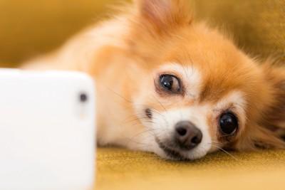 寝転んでスマホを見る犬