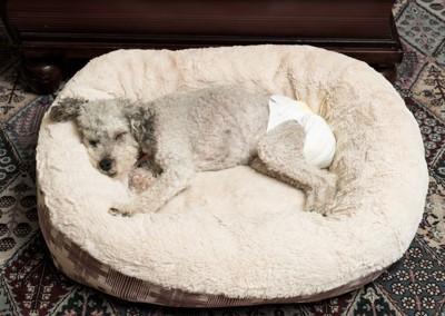 パンツをはいて寝る犬