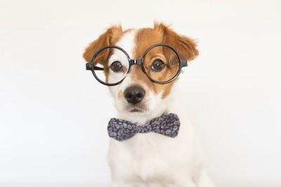 丸メガネと蝶ネクタイをした犬