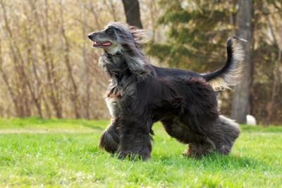 風で綺麗な被毛がなびいている黒いアフガン・ハウンド