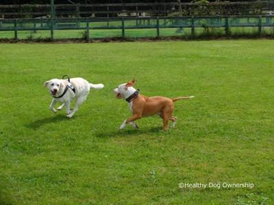走っている2匹の犬