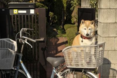 自転車に乗る柴犬