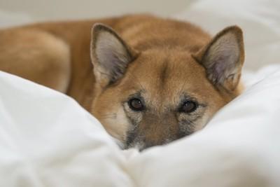 布団の上からこちらをじっと見つめる犬
