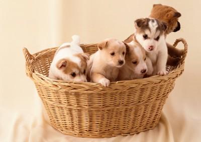 カゴに入った5匹の子犬