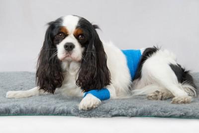 足と腰に包帯を巻いている犬