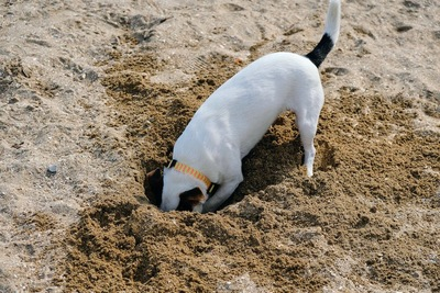 穴を掘るジャックラッセルテリア