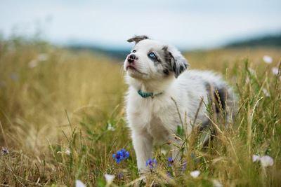 草むらで上を見上げるボーダーコリーの幼犬