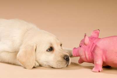 伏せる子犬の目の前に置かれたピンクの豚のおもちゃ