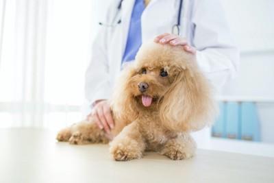 診察台の上のトイプードルを撫でる獣医師