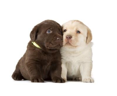 ラブラドールの子犬2匹