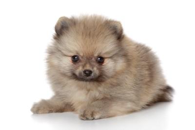 つぶらな瞳で見つめるポメラニアンの子犬