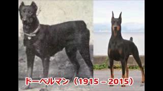 100年前と現在のドーベルマン