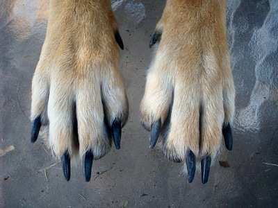 伸びきった犬の爪