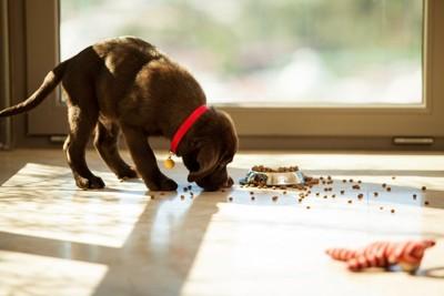 ご飯を散らかしている犬