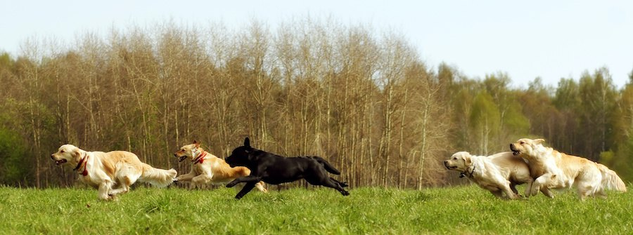 草原を走る犬の群れ