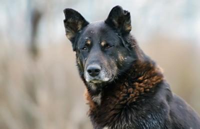 汚れた黒い野犬