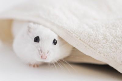 タオルから顔を出す白いハムスター