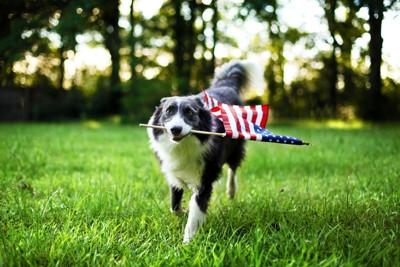 アメリカ国旗をくわえたボーダーコリー