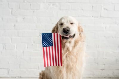 アメリカの国旗をくわえたゴールデンレトリバー