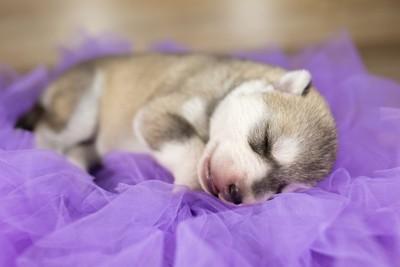 紫色の布の上で寝ている生まれたての子犬
