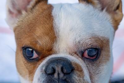 目が赤くなっているフレンチブルドッグ