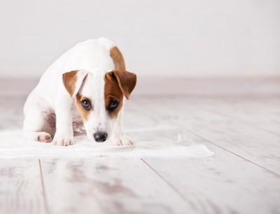 トイレシーツの上に座る犬