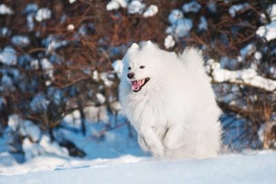 雪の中を走るアメリカンエスキモードッグ
