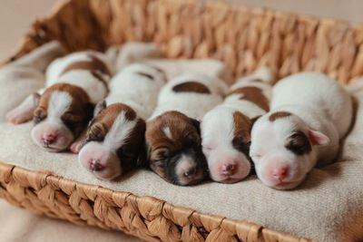 カゴの中で眠る小さなジャックラッセルテリアの幼犬