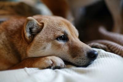 切ない表情で伏せる犬の横顔