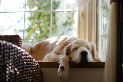 窓際で眠る犬