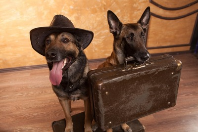 一緒に旅行に行きたがる犬
