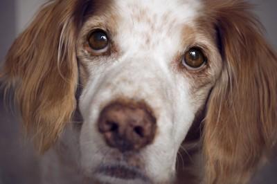 こちらを見つめる白茶の犬アップ