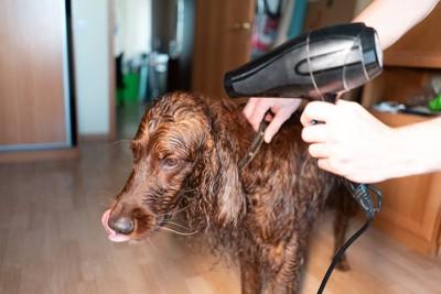濡れたままドライヤーをかけられている犬