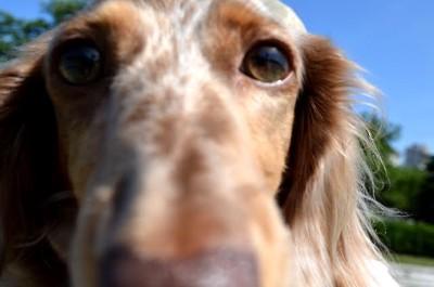 こちらを見つめる犬の写真