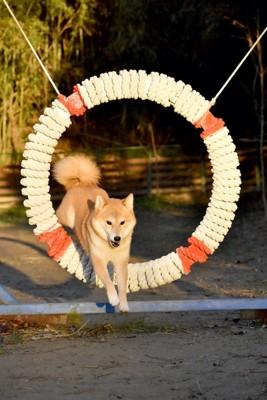 輪くぐりジャンプをする柴犬