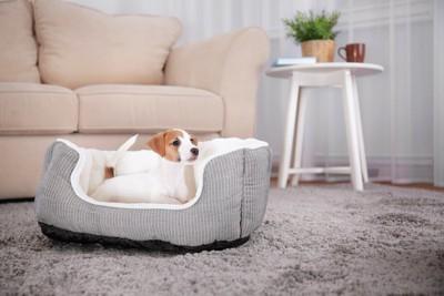 リビングに置かれた犬用のベッドにいるジャックラッセル