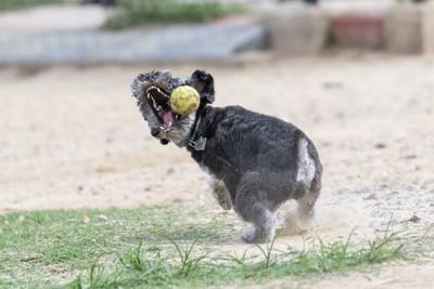 黄色いボールをキャッチするシュナウザー