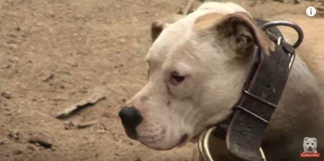 巨大な首輪と鎖につながれた犬