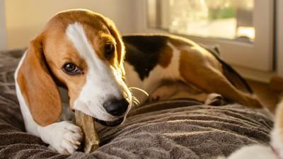 ベッドの上でおやつをかじるビーグル犬