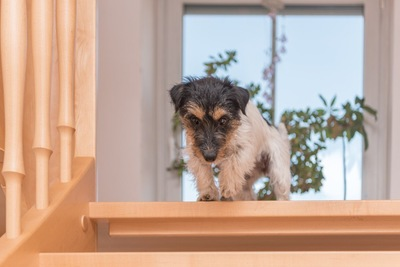 階段の上にいるジャックラッセル